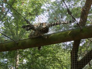 The jaguar sleeping above us!